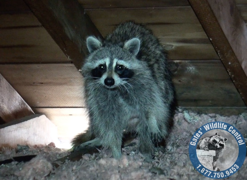 Animal Noises Sounds In The Attic Gates Wildlife Control