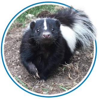 skunk removal in Toronto